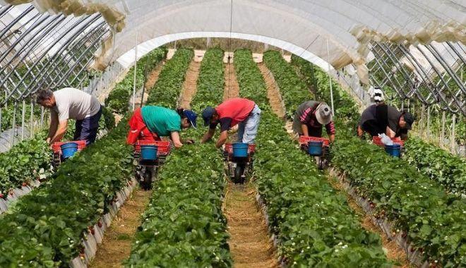 Foto: Stimulente financiare pentru muncitorii sezonieri. Guvernul pregătește ordonanțe de urgență cu impact major