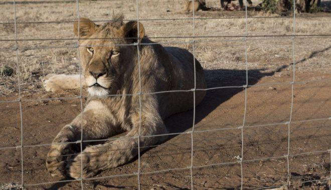 BBC: Africa de Sud va interzice creşterea leilor pentru vânătoare sau în scopuri turistice - 1-1620023307.jpg