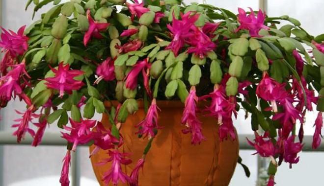 Foto: Plante de interior, care înfloresc iarna