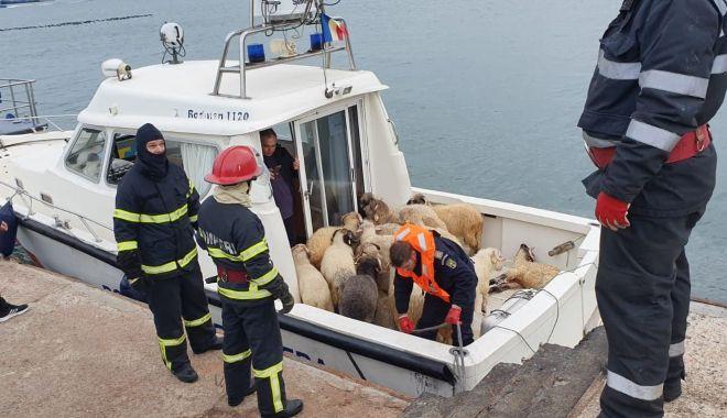 Foto: ANSVSA, informație de ultim moment. Ce se întâmplă cu oile salvate de pe nava răsturnată
