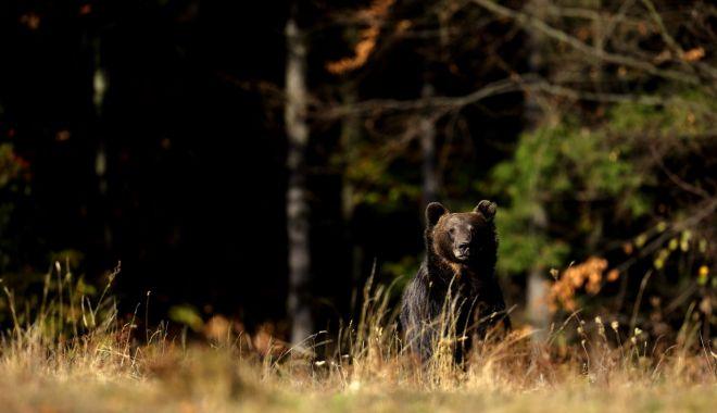 Agerpres: Film amuzant cu un urs din Parcul Naţional Retezat, surprins de camerele video la...scărpinat - agerpres11772350-1615221143.jpg