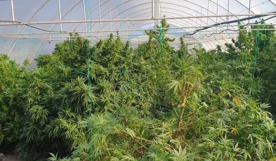 Foto: Cultură de cannabis outdoor, descoperită de polițiști