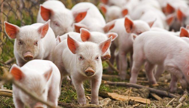 Dăncilă: peste 200 de milioane de lei pentru plata despăgubirilor pestei porcine - brailafocardepestaporcinaafrican-1536150153.jpg