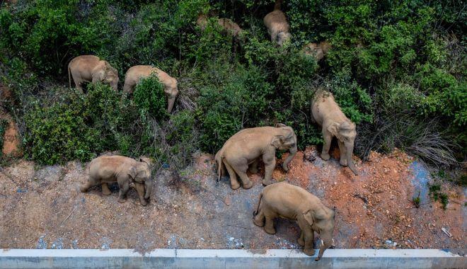Călătoria celor 15 elefanţi urmărită pe tot globul are în spate o poveste tristă - calatoria2-1623320357.jpg