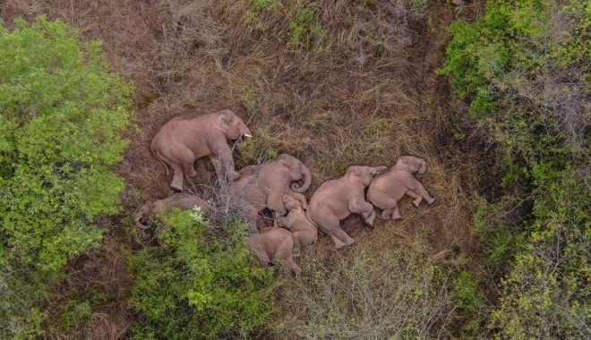 Călătoria celor 15 elefanţi urmărită pe tot globul are în spate o poveste tristă - calatoria3-1623320368.jpg