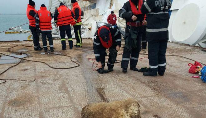 Foto: A început recuperarea oilor moarte din acvatoriul portuar Midia