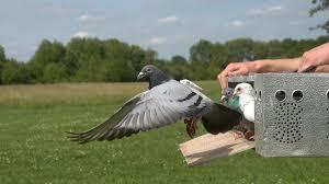 Foto: Români acuzați de furtul unor porumbei valoroși din Belgia