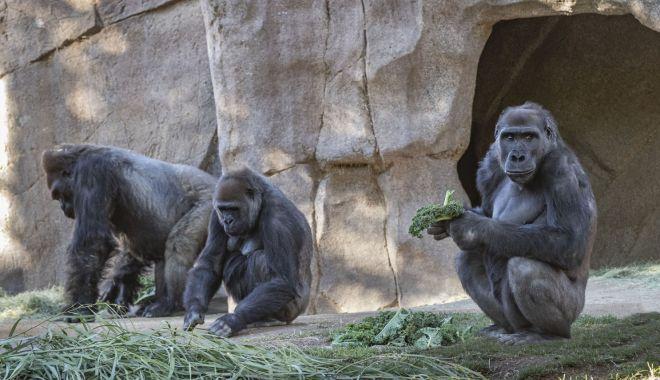 Agerpres: Maimuţe de la grădina zoologică din San Diego, vaccinate împotriva COVID-19 - download-1614949835.jpg