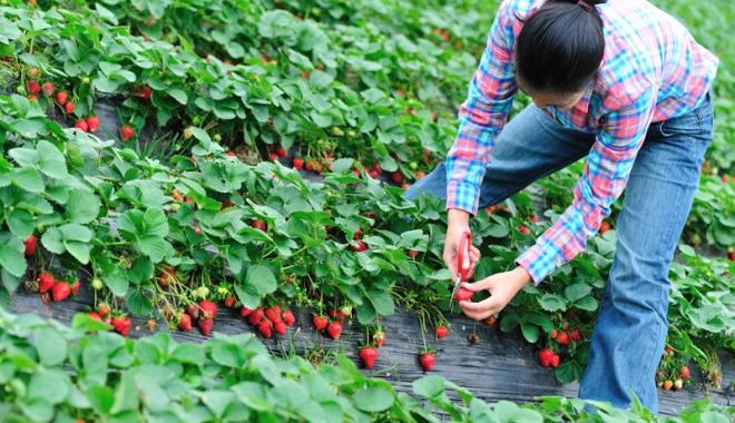 Foto: Culegătorii de zmeură și căpșuni, la mare căutare