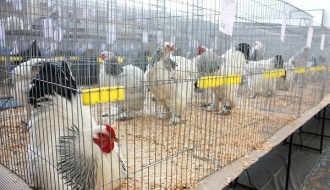 Focar de gripă aviară. Târgurile de păsări vii, interzise - expozitiepasari5-1620489164.jpg