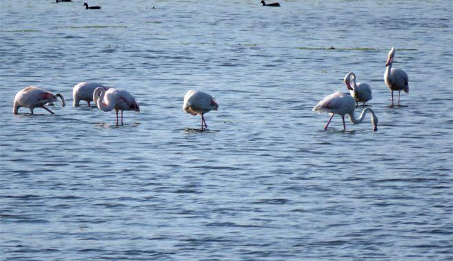 Păsările flamingo, surprinse pe lac, în Dobrogea - flamingo-1631689057.jpg