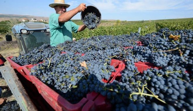 Forfotă în podgoriile dobrogene. Vinul de anul acesta va fi aromat şi dulce - fond1-1631553038.jpg