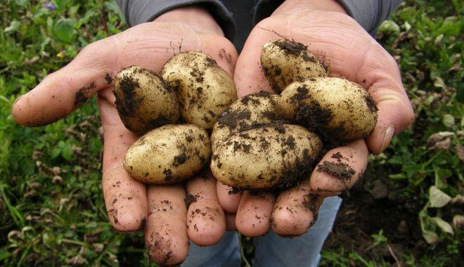 Dispare cartoful românesc? Cultivatorii au redus drastic suprafeţele - fonddisparecartofulromanesc-1614103793.jpg