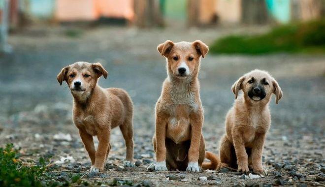 Eforturi pentru oprirea înmulţirii maidanezilor. Sute de câini, sterilizaţi - fondeforturicaini-1615834702.jpg