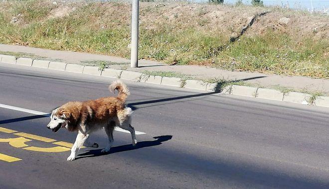 Constănţenii, abandonaţi în colţii câinilor fără stăpân. Vom scăpa vreodată de maidanezi? - fotofondcatei3-1599585361.jpg