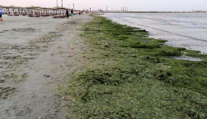 Foto: Invazie de alge pe litoral. Mii de tone strânse deja de pe plaje