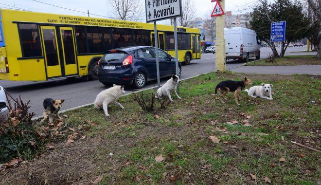 Maidanezii, stăpâni pe Constanța! De astăzi, se reia capturarea câinilor comunitari - fotofondmaidanezi1-1589731690.jpg
