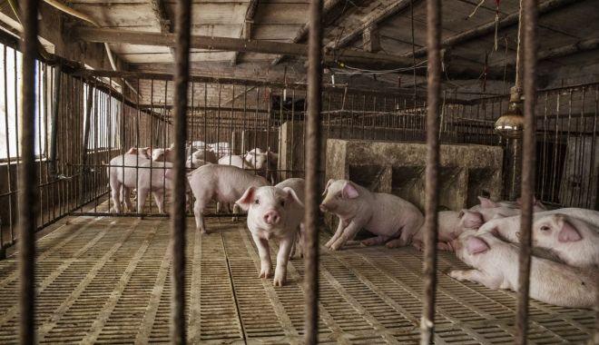 Foto: Pesta porcină amenință gospodăriile. Focar descoperit la o fermă din Cumpăna