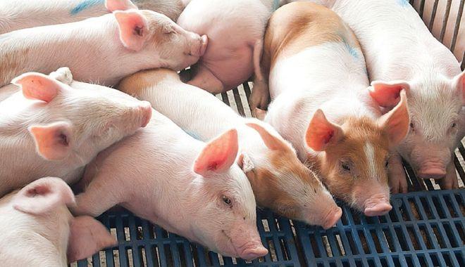 Foto: Situație alarmantă! Pesta porcină se extinde în județul Constanța
