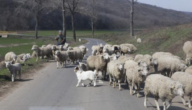 SCENE DE GROAZĂ! Turmă de oi spulberată de o șoferiță. 20 de animale au fost ucise pe loc - img-1508759503.jpg