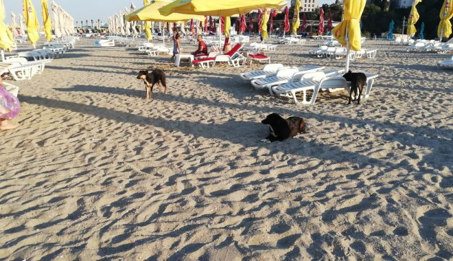 Teroare pe plaje! Haite de maidanezi flămânzi, printre șezlonguri! - jos-1597083662.jpg