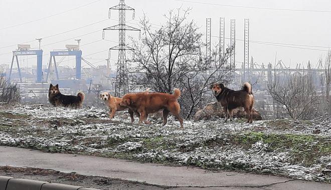 Haitele de maidanezi pun stăpânire pe străzile Constanței - jos-1610567286.jpg