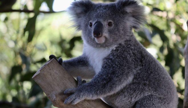 Un exemplar de koala fără un picior a primit o proteză realizată de un dentist - koala-1613989231.jpg