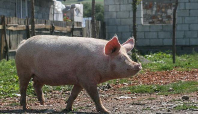 Foto: Un nou caz de pestă porcină africană, confirmat de autoritățile române