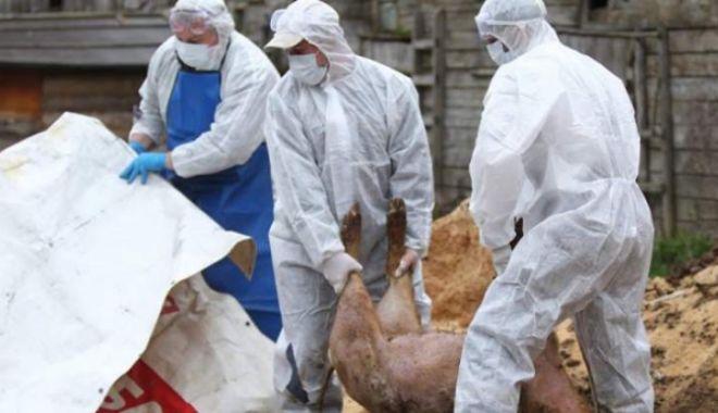 """Foto: Noi focare de pestă porcină africană la Constanța. """"Au fost găsiți doi mistreți morți"""""""