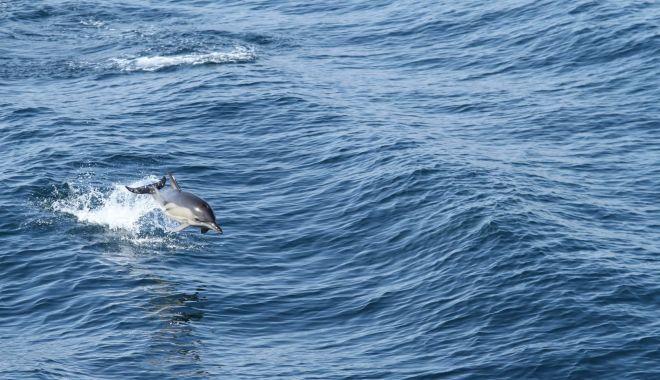 Foto: Peste 250 de delfini, observați în opt zile în apele teritoriale românești