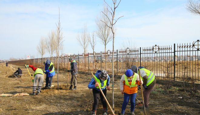 Plantări la Constanţa. Copaci, gard viu şi arbori decorativi pe bulevardele Constanţei - plantari-1614867488.jpg