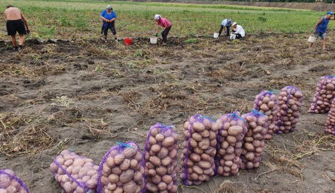 România ocupă locul şase în UE la producţia de cartofi - romaniaestepeloculsase-1617797100.jpg