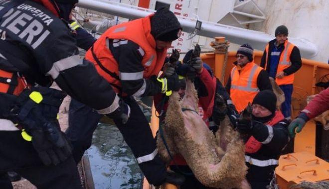 Foto: Exportul de animale vii, verificat mai drastic de veterinari! Un transport de 16.500 de ovine a fost reținut