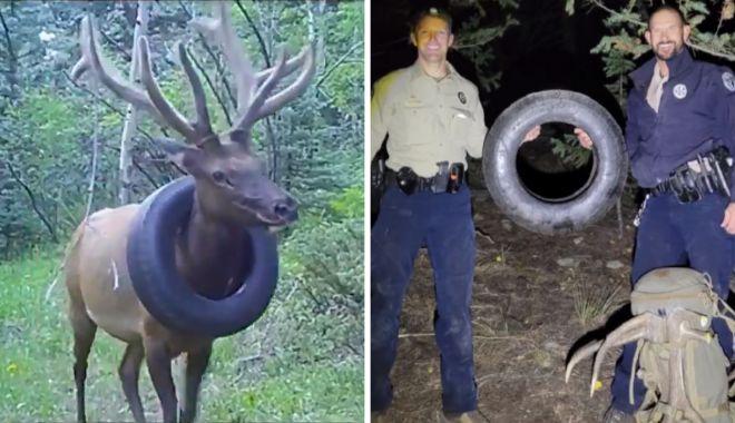 Un elan a fost salvat după ce doi ani a stat cu un cauciuc de maşină la gât - unelanafostsalvat-1634042079.jpg