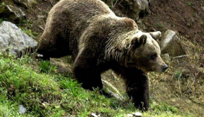 Tânăr în stare gravă, după ce a fost atacat de un urs - urs-1517951568.jpg