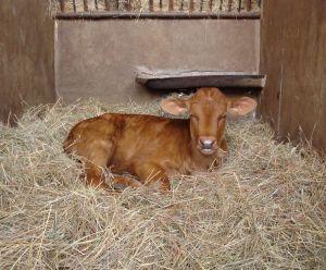 Vițelul fără mamă - vitel-1351893643.jpg