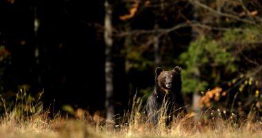 Agerpres: Film amuzant cu un urs din Parcul Naţional Retezat, surprins de camerele video la...scărpinat
