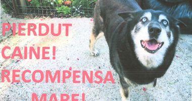 Apel la constănţeni pentru a găsi un câine Husky pierdut