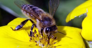 Tratamentul cu artroză pentru albine