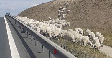 Atenție, șoferi! Au revenit turmele de oi pe lângă Autostrada A2