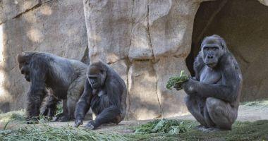 Agerpres: Maimuţe de la grădina zoologică din San Diego, vaccinate împotriva COVID-19