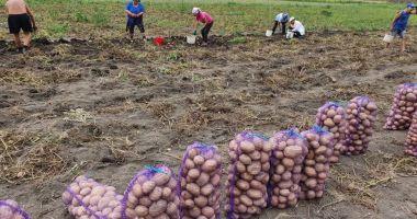 Fermierii vor un Plan Naţional Strategic al Cartofului