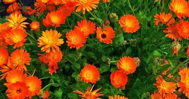 O singură plantă, beneficii numeroase