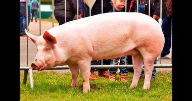 La Berlin se discută viitorul cărnii de porc