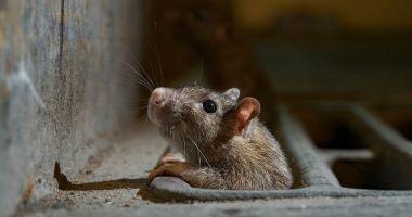 O americancă a luat tifos după ce a dus la gunoi un şobolan mort