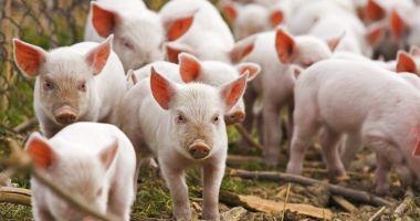 Pesta porcină, confirmată în 25 de localități din județul Constanța!