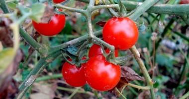 Așa depistezi roșiile modificate genetic de pe piață