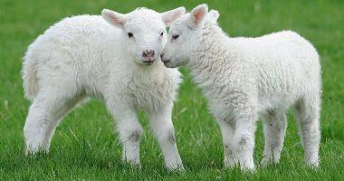 Foto - Vom avea carne de Paște? Mieii româneşti, la mare căutare în ţările arabe