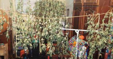 Tânăr din Constanța, arestat pentru că avea o cultură de cannabis în apartament