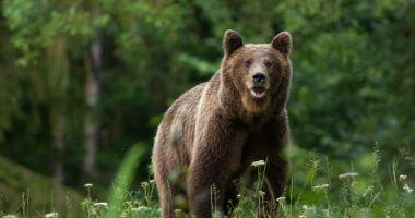 Bărbat atacat de urs în timpul unei partide ce vânătoare